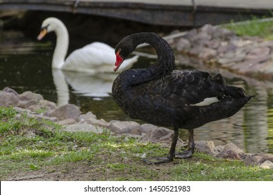 Two swans: black swan standing on the ground and white swan sailing nearby.
