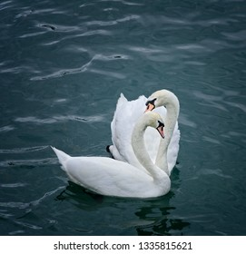 Two swans companions swimming in a lake