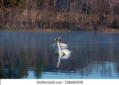 Two swans in Dalarna, sweden. Swimming upstreams in the region of Gagnef