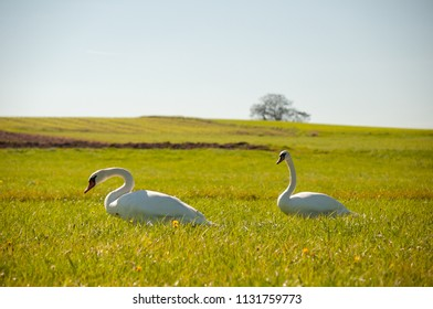 Two swans foraging for food on a green meadow under a blue sky.