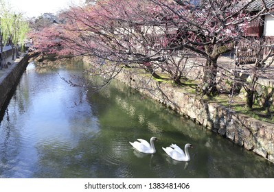 Two swans in Kurashiki canal, historic Bikan district, Kurashiki city, Japan