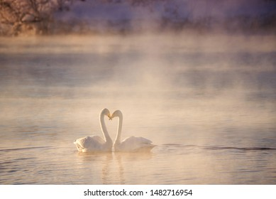 "Two swans in love swim beautifully on a winter lake. ""Lebedinyj"" Swan Nature Reserve, ""Svetloye"" lake, Urozhaynoye Village, Sovetsky District, Altai region, Russia"