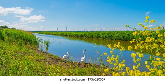 Two swans on the edge of a canal with reed and wild flowers below a blue sky in sunlight in spring