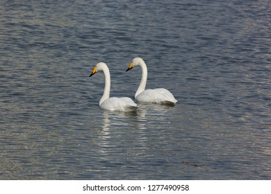 Two swans on the frozen water surface