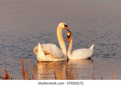 Two swans on lake in wedding period.