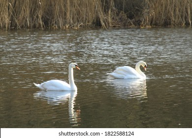 Two swans on a pond in the morning.