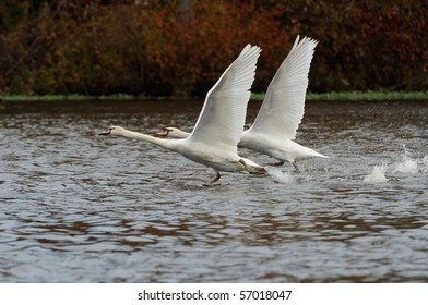 Two swans running on water for take off with wings spread high.