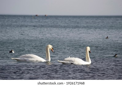 Two swans swim beautifully on the sea water.