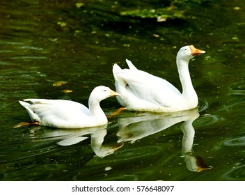 Two swans, swimming in a lake.