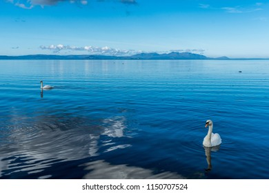 Two swans swimming off Ayr beach with the Isle of Arran.