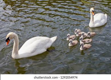 Two swans swimming with their Cygnets.