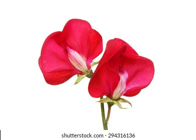 Two sweet pea flowers isolated against white