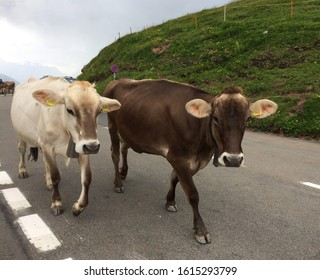 Two Swiss Cows walking on the road in the swiss alps and looking at the camera