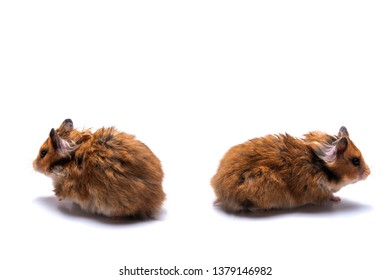 Two Syrian hamsters on a white background looking in different directions, soncept quarrel, feud, discord, parting