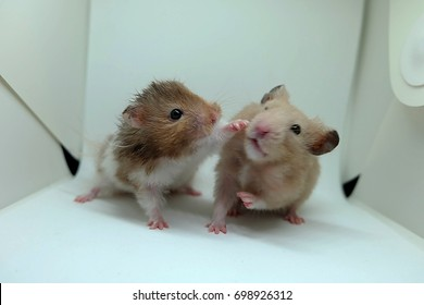 Two syrian hamsters playing together on white background, blurred photo