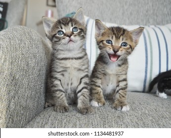 Two tabby kittens sit on a chair while one meows