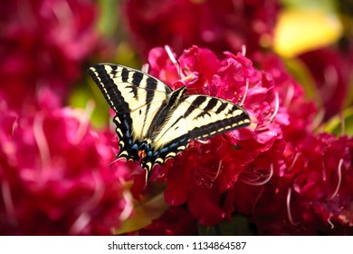 A two tailed butterfly, papilio multicaudata, on bright pink rhododendrons in Seaside, Oregon.