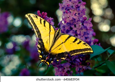 The Two Tailed Swallowtail Butterfly, the official State Butterfly of Arizona. This one was feeding on some wild Lilac flowers near Sedona.