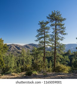 Two tall pine trees stand on a hillside in the mountains of southern California's Angeles National Forest.