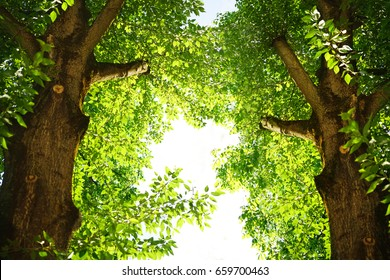 Two tall poplar trees with a green crown of foliage.