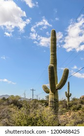 Two tall saguaro cacti (binomial name: Carnegiea gigantea), with arms, in the vicinity of power lines and telephone poles on a sunny day in Phoenix, Arizona, USA