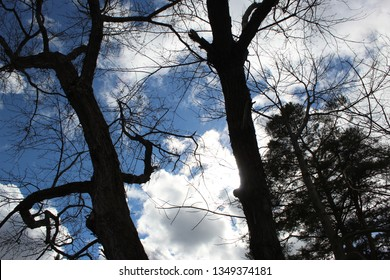 Two tall tree with twisted limbs and branches and pine tree on the side with deep blue sky and white and light gray billowy clouds