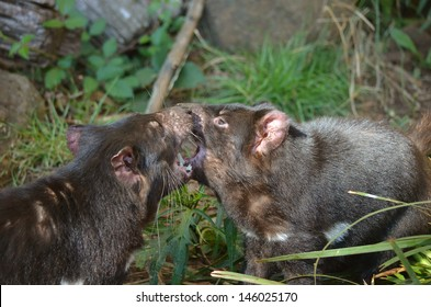 the two tasmanian devils are having a fight