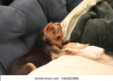 two teacup chihuahua dogs play fighting 1163