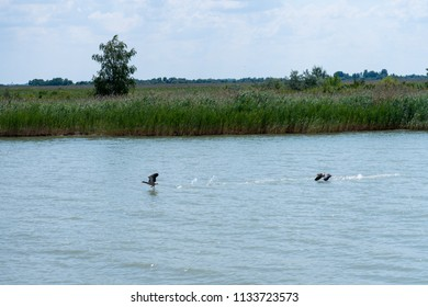 Two teals taking off from Neusiedl Lake, Rust, Austria.