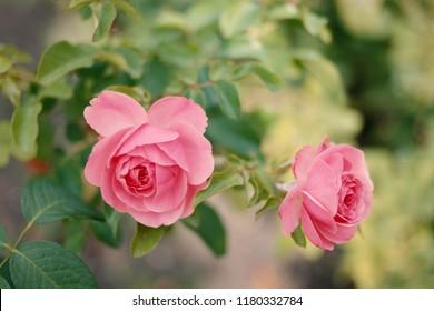 Two Tender roses on rosebush in garden