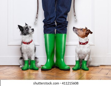 two terrier dogs waiting to go walkies with leash  outside in rain with rubber boots