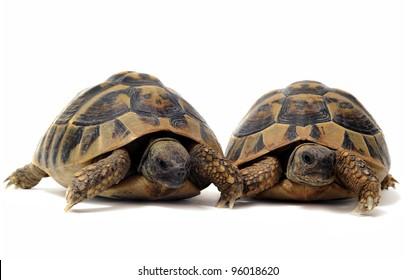 Two Testudo hermanni tortoises on a white isolated background
