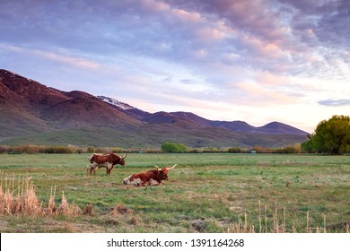 Two Texas Longhorn Bulls in a rural sunrise field, Utah, USA.