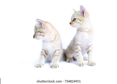 Two thai cat isolated in white background.