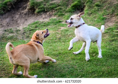 two thai dogs playing in green meadow