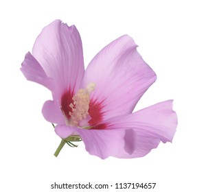 two third view of pink hibiscus flower on white