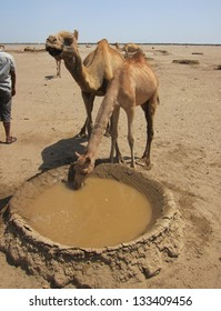 Two thirsty camels drink from a well in the desert of Ethiopia