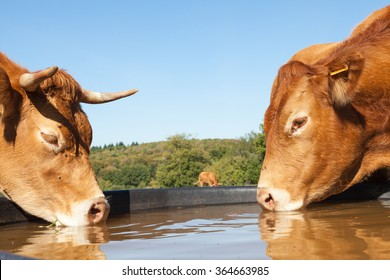 Two thirsty Limousin beef cows drinking from a plastic  water tank in a pasture, close up side view of their heads on opposite sides