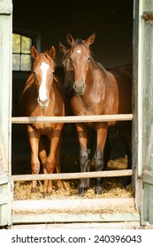 Two thoroughbred foals at stable door. Horses standing in the barn.