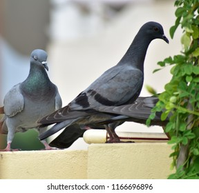 Two Three Pigeon eating