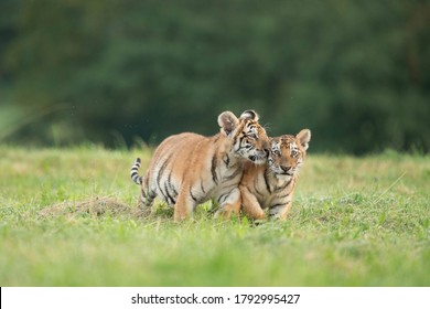 Two tiger babies playing together