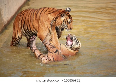 Two tigers fighting each other in pond