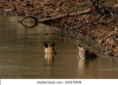 Two tigers lounging in the water at a waterhole in Tadoba National park with just their heads showing out of the water.