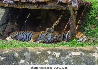 Two tigers sleeping