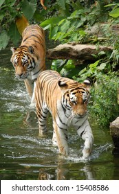 Two tigers walking in water