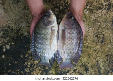 Two tilapias (Oreochromis niloticus) in hand soft focus
