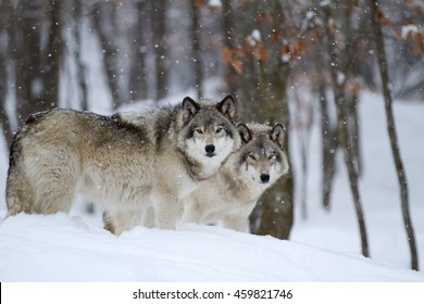 Two Timber wolves or grey wolves Canis lupus in a forest standing beside each other in the winter snow in Canada as the snow falls