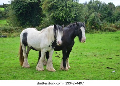 Two Tinker horses in Ireland, one black with a blaze and one piebald white-black. The black one has a little beard.