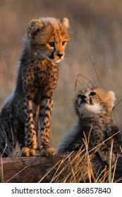 Two tiny cheetah cubs standing on a tree stump