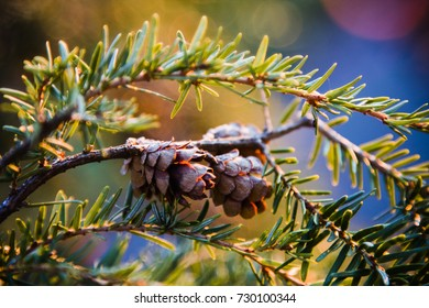 Two tiny pinecones cling to a fir branch amidst the colorful light from a sunset.